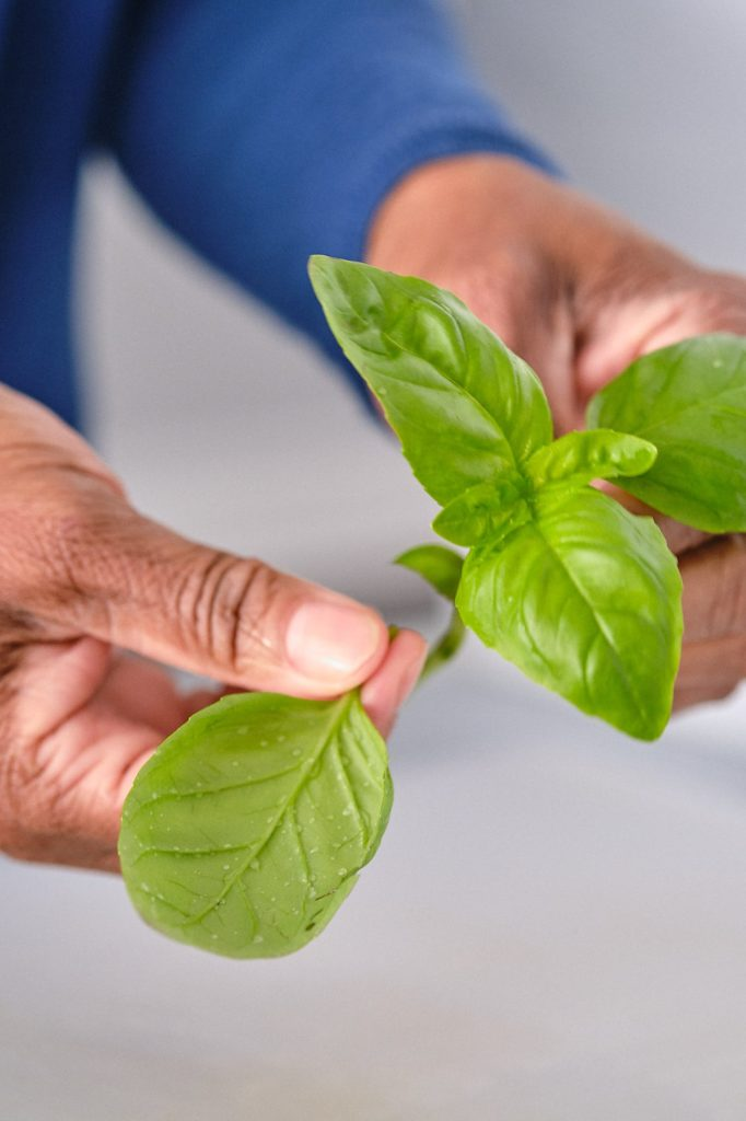 hands picking fresh basil leaves